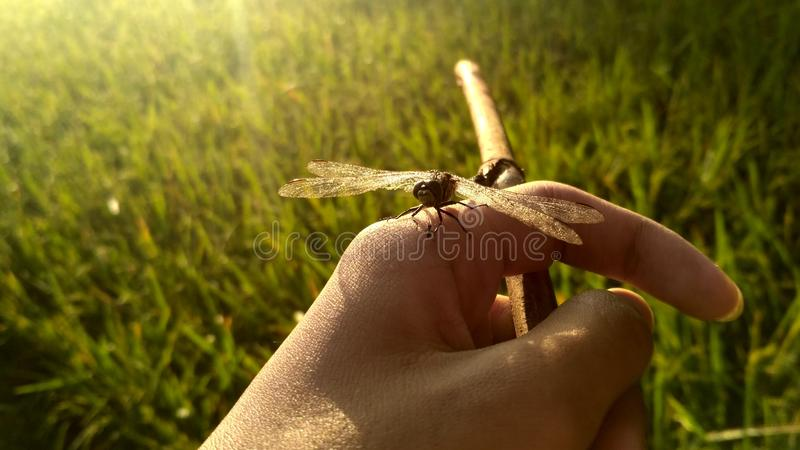 Insect, Grass, Invertebrate, Close Up royalty free stock photography