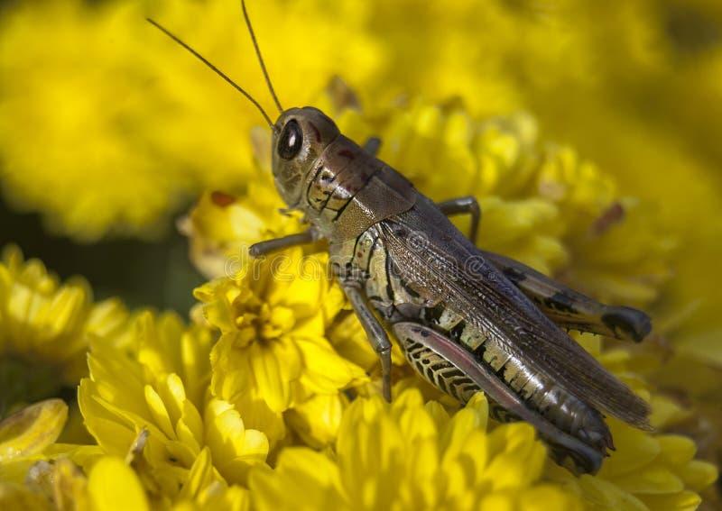 Insect, Grasshopper, Yellow, Locust
