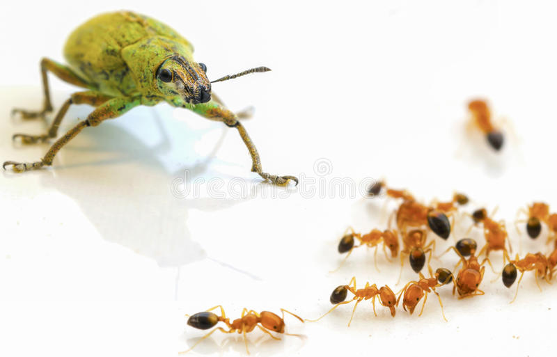 Insect green and ants on white stock photography