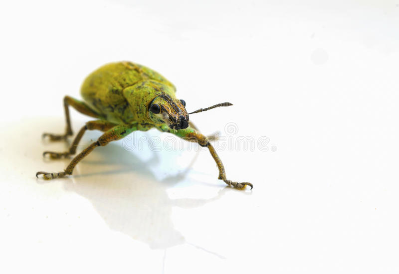 Insect green on white royalty free stock photo