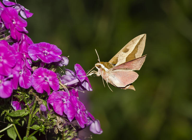 Insect hawk moth hovering over the Phlox and collects nectar royalty free stock photos