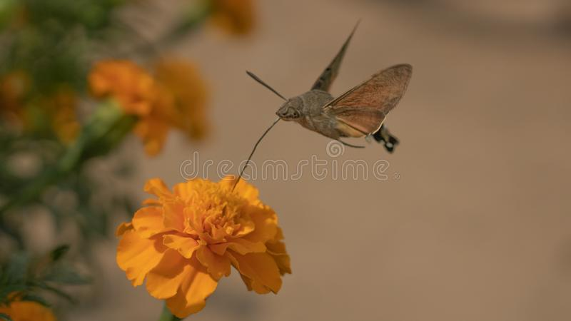 Insect hawthorn Sphingidae collects pollen from flowers. A butterfly that looks very much like a hummingbird.  stock images