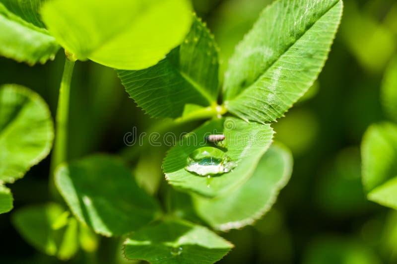 Insect het drinken van een daling van water op het groene gras na de regen, macrofoto stock afbeeldingen