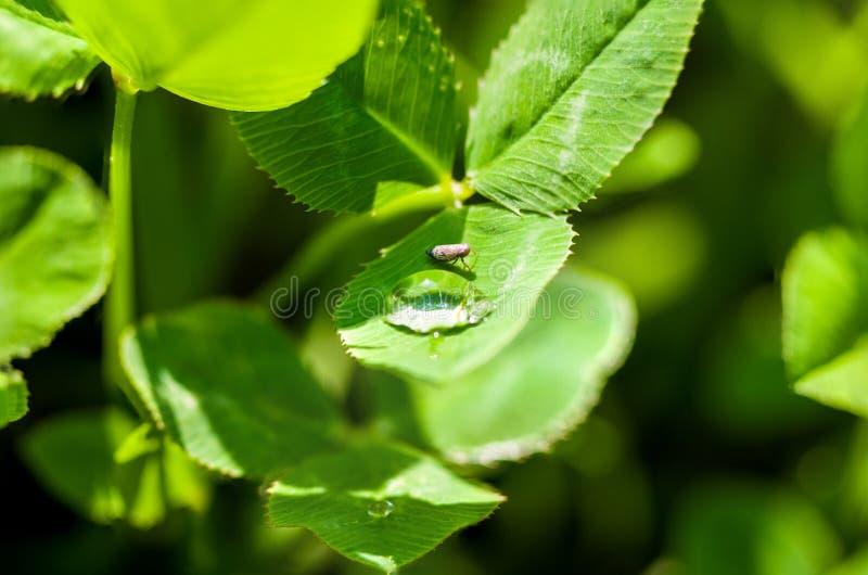 Insect het drinken van een daling van water op het groene gras na de regen, macrofoto stock afbeelding