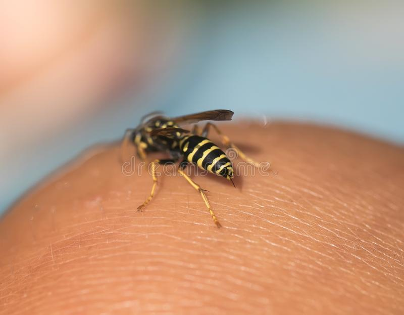 Insect hollow wasp flew to the human hand and took out a sting t royalty free stock image