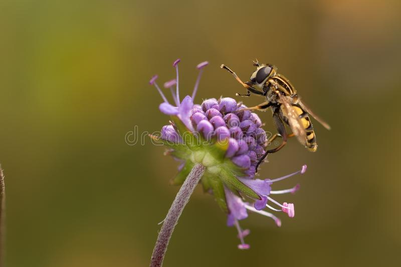 Insect, Honey Bee, Wasp, Nectar
