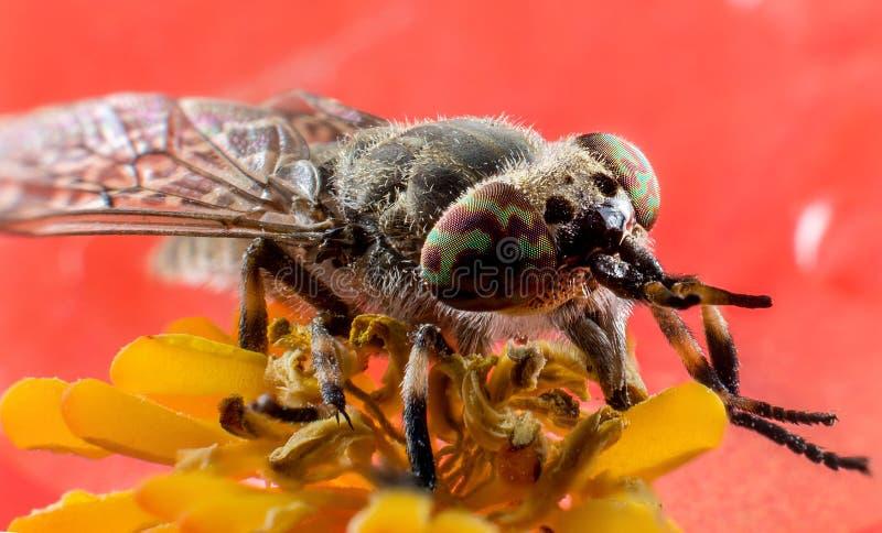 Insect horsefly macro royalty free stock image
