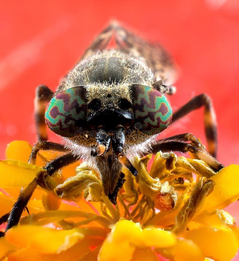 Insect horsefly macro stock image
