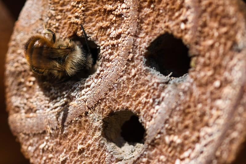 Insect hotel with wild solitary mason bee building nest macro. Insect hotel with wild solitary mason bee building nest in the hole drilled in the wood , detailed stock photography