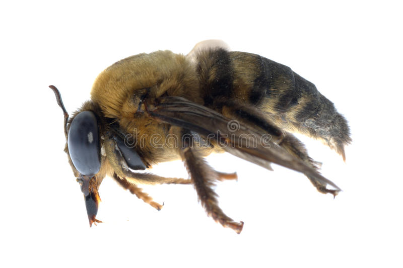 Download Insect humble bee stock image. Image of antennae, food - 16615589
