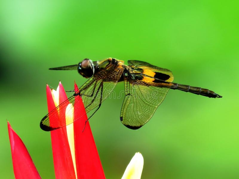 Insect, Invertebrate, Dragonfly, Macro Photography stock photo