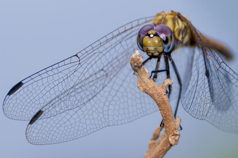 Insect, Invertebrate, Dragonfly, Macro Photography stock image