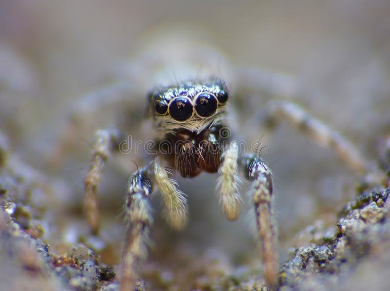 Insect Jumping Spider Close Up Macro royalty free stock images