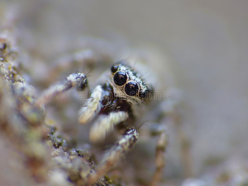 Insect Jumping Spider Close Up Macro royalty free stock photography
