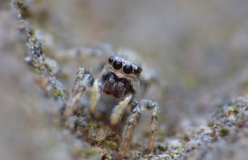 Insect Jumping Spider Close Up Macro royalty free stock photos