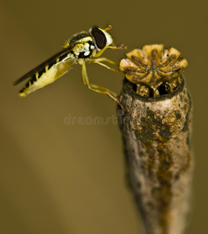 Download Insect macro stock photo. Image of wasp, detail, bumble - 14766742
