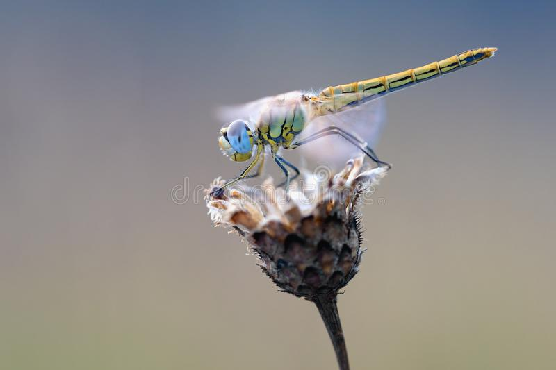 Insect, Macro Photography, Invertebrate, Dragonfly royalty free stock photos