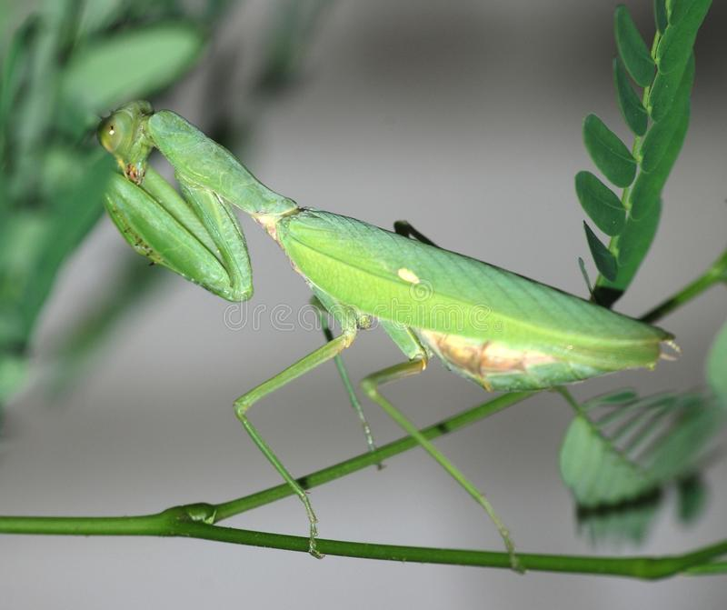 Insect Mantis Royalty Free Stock Photography