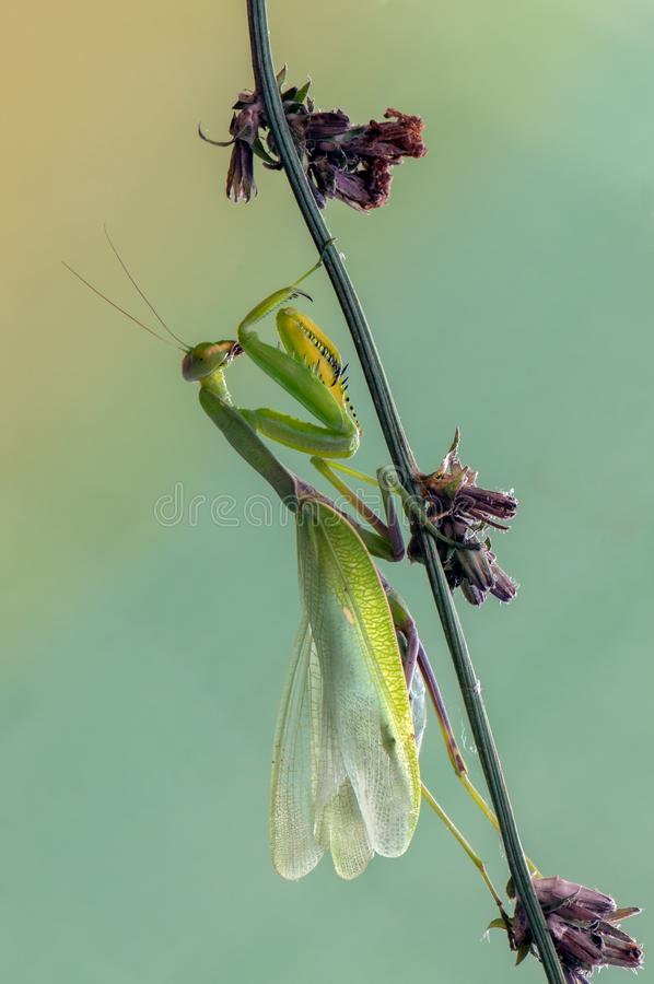 Insect Mantis religiosa on a summer day. Insect Mantis religiosa  sits on plant on a summer day stock photos