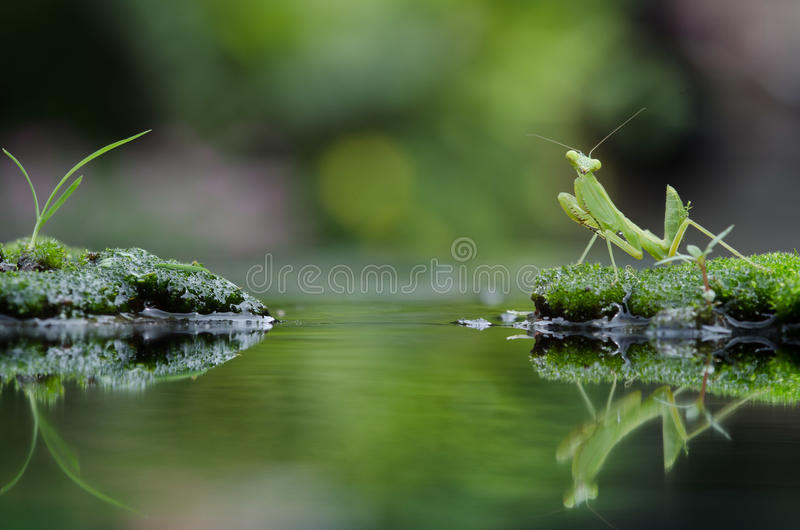 Insect Mating in the grass royalty free stock photos