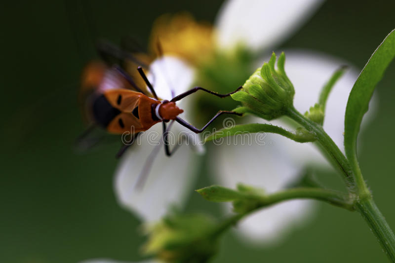 Insect mating on a white flower royalty free stock photos
