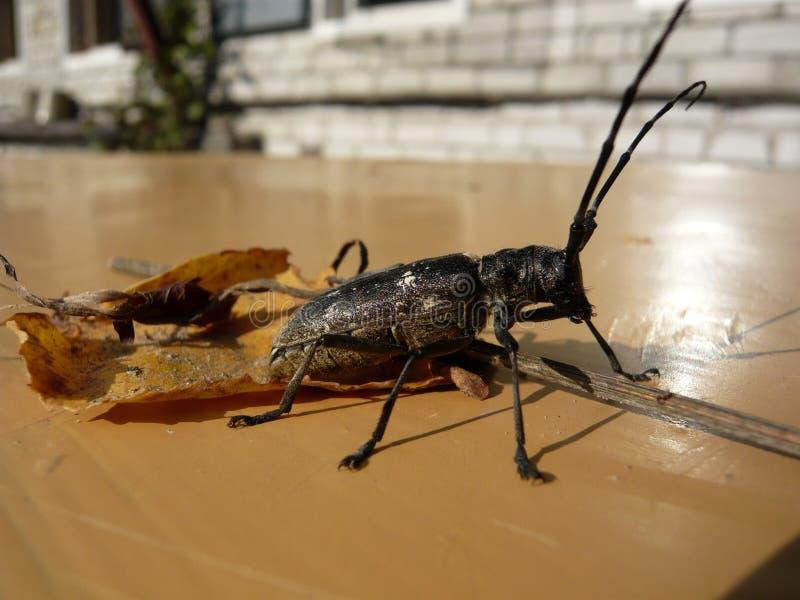 Insect met een grote snor stock foto