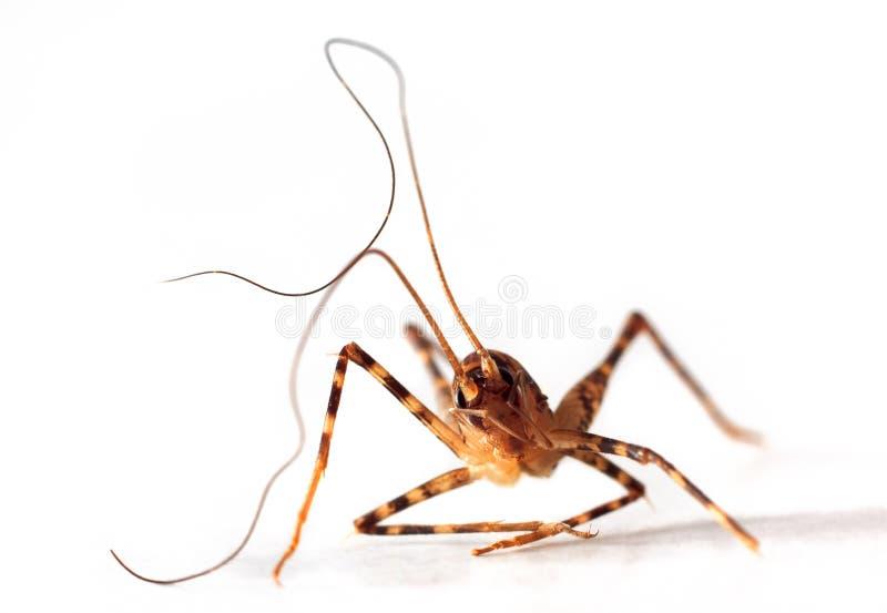 Insect met lange antennes royalty-vrije stock foto