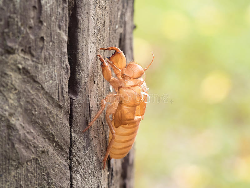 Insect molting cicada on tree in nature. Cicada metamorphosis (Latin Cicadidae) grow up to adult insect. royalty free stock image