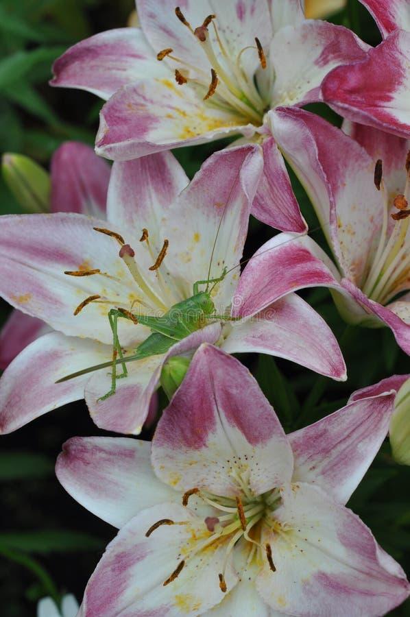 Insect op de bloem van een Lelie stock foto