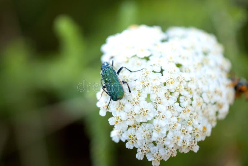 Insect op een gemeenschappelijk duizendbladbloemen royalty-vrije stock afbeeldingen