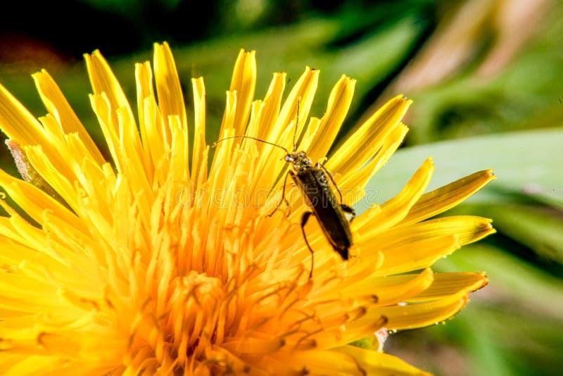 Insect op een paardebloem stock fotografie