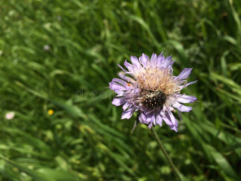 Insect op een roze bloem stock afbeeldingen