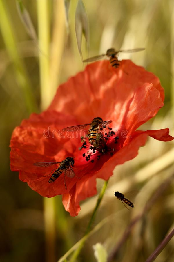 Insect op rode papaversbloem stock afbeelding