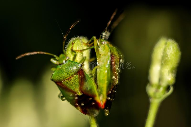Insect on a plant Green shield bug. Palomena prasina royalty free stock images
