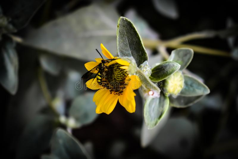 A insect sitting on sunflower.the portrait of yellow flower,it is also a wallpaper stock images