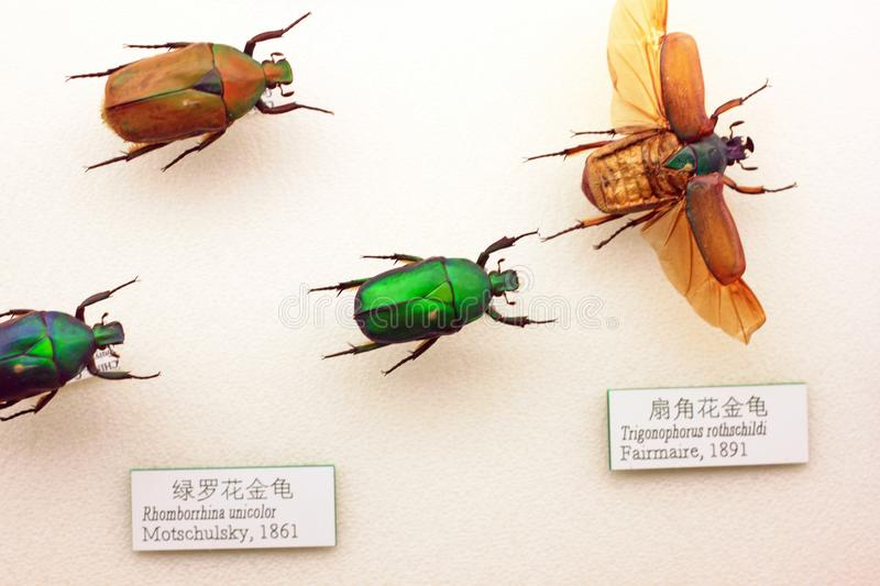 Insect specimen. In the Museum. The National Zoological Museum of the Chinese Academy of Sciences CAS is a medium-sized professional museum in Beijing. It royalty free stock image