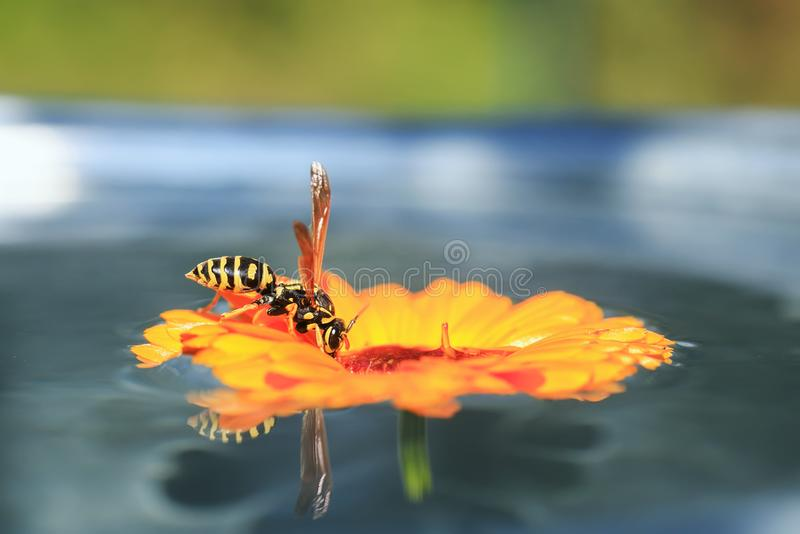 Insect striped wasp landed on the flower in the garden floating on water and drinking from it. Striped wasp landed on the flower in the garden floating on water royalty free stock image