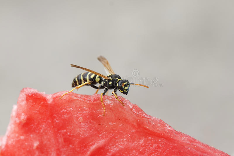 Insect striped wasp sitting on a red juicy watermelon royalty free stock photo