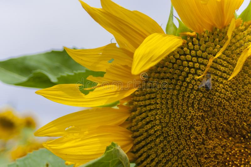 The insect in the sunflower stock photo