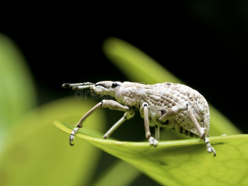 Insect weevil,Curculionidae royalty free stock photos
