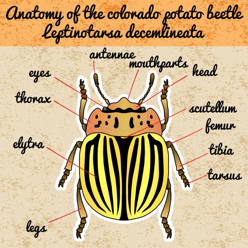 Insectanatomie De coloradokever van stickercolorado Leptinotarsadecemlineata Schets van de coloradokever van Colorado vector illustratie