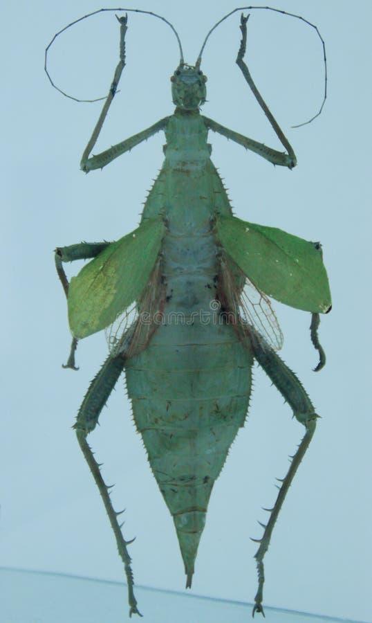 Insectbidsprinkhanen van entomologische inzameling op een witte achtergrond royalty-vrije stock foto's