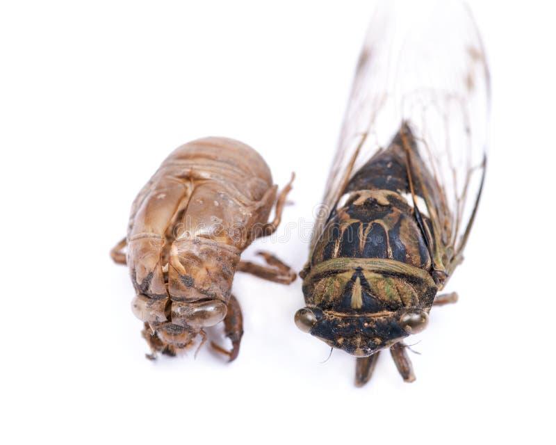Insectcicade Cicadoidea en shell van de Cicadenimf exuvum Shell van het larvenbroedsel stock fotografie