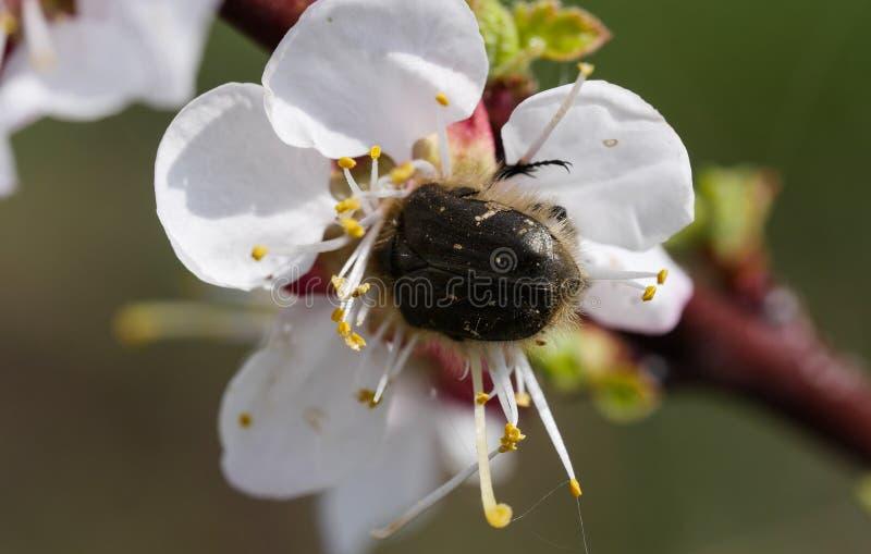 Insecte alimentant sur un pollen de fleur images stock
