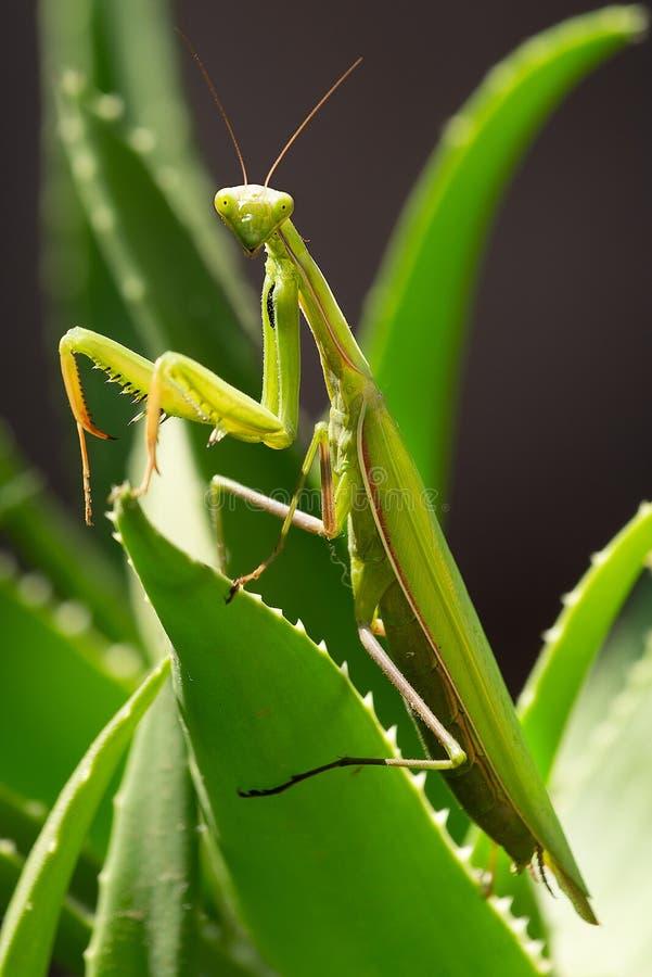 Insecte attaquant de mante sur une plante verte image libre de droits