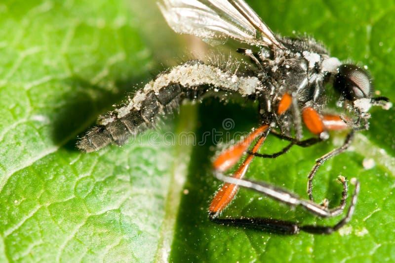 Insecte détruit par le mycète images libres de droits
