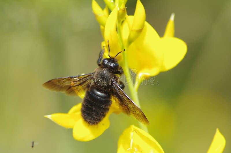 Insecte d'abeille sur une fleur jaune photographie stock libre de droits