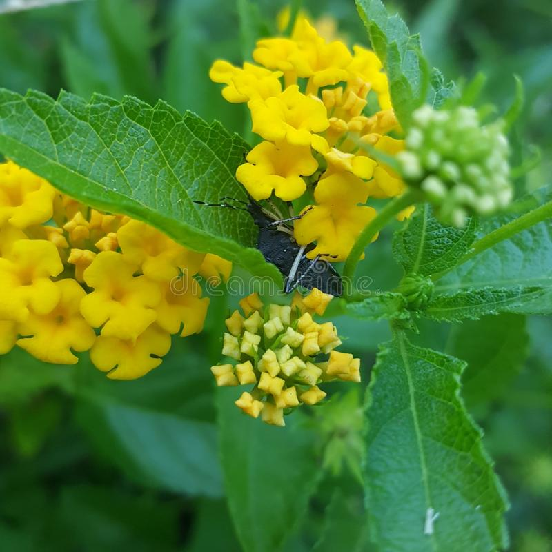 Insecte dans le Lantana jaune photographie stock