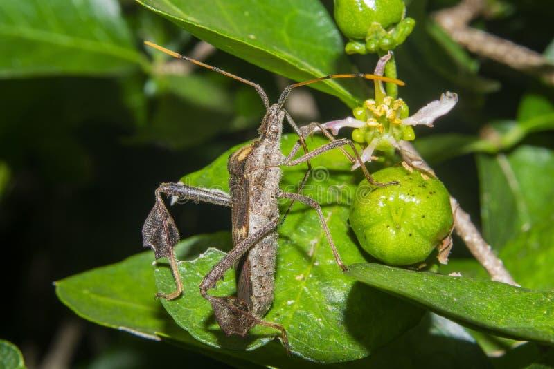 Insecte dans le zonatus de leptoglossus d'acerola photos stock