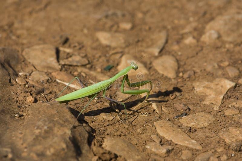 Insecte de bâton photo stock